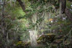 Árboles del ` s de la Patagonia cubiertos con el musgo y el liquen, Tierra del Fuego Fotos de archivo
