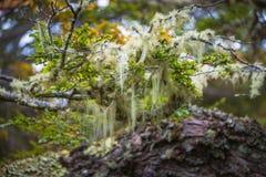 Árboles del ` s de la Patagonia cubiertos con el musgo y el liquen, Tierra del Fuego Fotografía de archivo