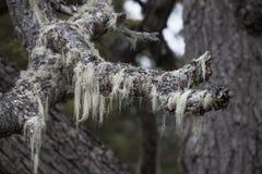 Árboles del ` s de la Patagonia cubiertos con el musgo y el liquen, Tierra del Fuego Imagen de archivo libre de regalías
