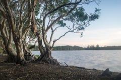 Árboles del té en el lago Ainsworth Australia Foto de archivo