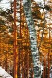 Árboles del tronco y de pino del abedul en invierno Imagenes de archivo