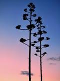 Árboles delgados en fondo de la puesta del sol Fotos de archivo libres de regalías