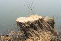 Árboles derribados cerca de la charca Tocones, ramas y serrín Imagen de archivo