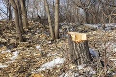 Árboles derribados Pedazos del tocón y de madera El concepto de mala ecología Corte de árboles imágenes de archivo libres de regalías