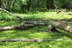 Árboles derribados por el castor Foto de archivo libre de regalías