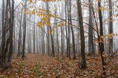 Árboles descubiertos en bosque brumoso de la caída foto de archivo