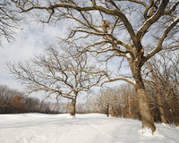 Árboles descubiertos en bosque del invierno Foto de archivo libre de regalías