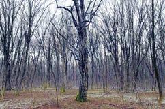 Árboles descubiertos en bosque del invierno Imagen de archivo
