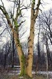 Árboles descubiertos en bosque del invierno Fotografía de archivo