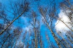 Árboles deshojados en bosque en fondo del cielo Imagenes de archivo
