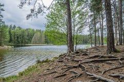 Árboles desnudos de la raíz cerca del lago del bosque Imagen de archivo