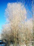 Árboles desnudos del invierno en Park City, Utah fotografía de archivo