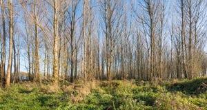 Árboles desnudos rectos en luz del sol otoñal Imagen de archivo libre de regalías