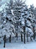 Árboles después de la caída de la nieve Imágenes de archivo libres de regalías