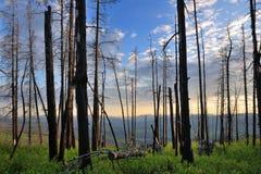 Árboles después de un fuego Fotografía de archivo libre de regalías
