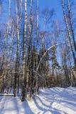 Árboles en bosque del invierno Imagen de archivo libre de regalías