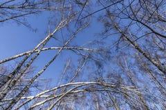 Árboles en bosque del invierno Imagen de archivo
