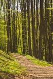 Árboles en bosque en la primavera foto de archivo libre de regalías