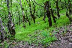 Árboles en bosque verde, árboles viejos Foto de archivo libre de regalías