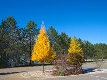 Árboles en caída, árboles amarillos de Tamarack entre pinos imperecederos imagenes de archivo