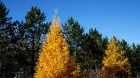 Árboles en caída, árboles amarillos de Tamarack entre pinos imperecederos en Minnesota almacen de video