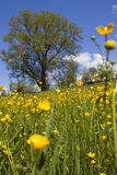 Árboles en campo amarillo Imagen de archivo libre de regalías