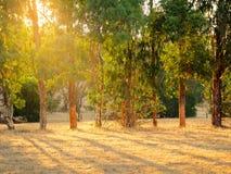 Árboles en campo de oro Fotos de archivo libres de regalías
