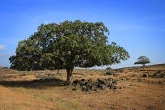 Árboles en Dhofar Fotografía de archivo