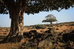 Árboles en Dhofar dos Fotos de archivo libres de regalías