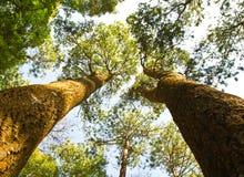 Árboles en el bosque Fotos de archivo