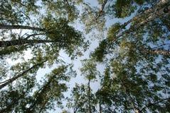 Árboles en el bosque Fotografía de archivo libre de regalías