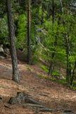 Árboles en el bosque Foto de archivo