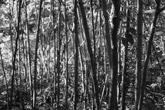 Árboles en el bosque blanco y negro Imagen de archivo libre de regalías