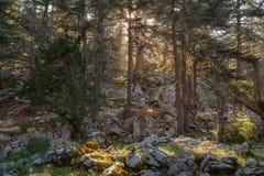 Árboles en el bosque viejo cubierto con el musgo Luz del sol que fluye a través de las ramas Imagen de archivo libre de regalías