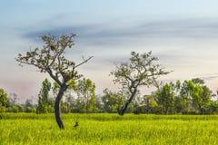 Árboles en el campo Tailandia del arroz Imagenes de archivo
