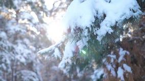 Árboles en el fondo del invierno de la nieve vídeo de la cámara lenta Árbol spruce imperecedero de la Navidad con nieve fresca Pi almacen de video