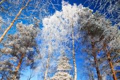 Árboles en el invierno cubierto con nieve Imagen de archivo libre de regalías