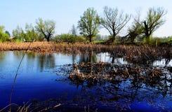 Árboles en el pantano con Khamis en el agua en Sunny Day Foto de archivo libre de regalías