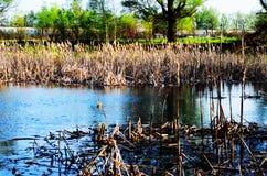 Árboles en el pantano con Khamis en el agua en Sunny Day Imagenes de archivo