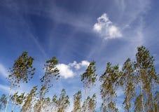 Árboles en el viento Fotografía de archivo