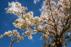 Árboles en flores imágenes de archivo libres de regalías