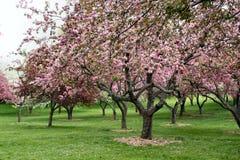 Árboles en la floración Fotografía de archivo libre de regalías