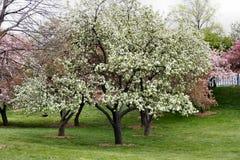 Árboles en la floración Foto de archivo