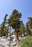 Árboles en la línea de la playa del lago solitario pine, sierras del este, California imagenes de archivo