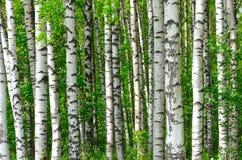 Árboles en la madera de abedul Imagen de archivo libre de regalías