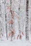 Árboles en la nieve en el bosque en invierno Fotos de archivo libres de regalías