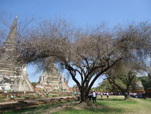 Árboles en la ruina de la capital antigua Tailandia de Ayutthaya Fotografía de archivo