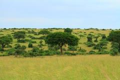 Árboles en la sabana del Ugandan con el cielo azul Imagen de archivo libre de regalías