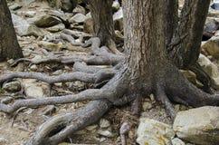 Árboles en las montañas con las raíces encendido encima de la tierra Foto de archivo libre de regalías