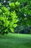 Árboles en los jardines botánicos reales, kandy, Sir Lanka Imagen de archivo